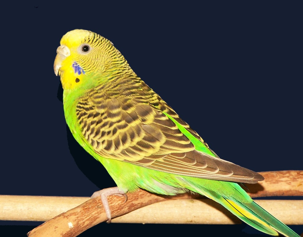 Волнистый попугай имя для девочки