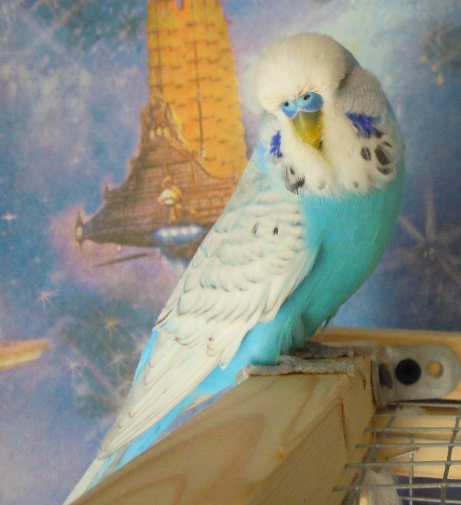 Один волнистый попугай