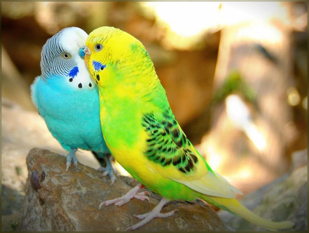 Жизнь волнистых попугаев