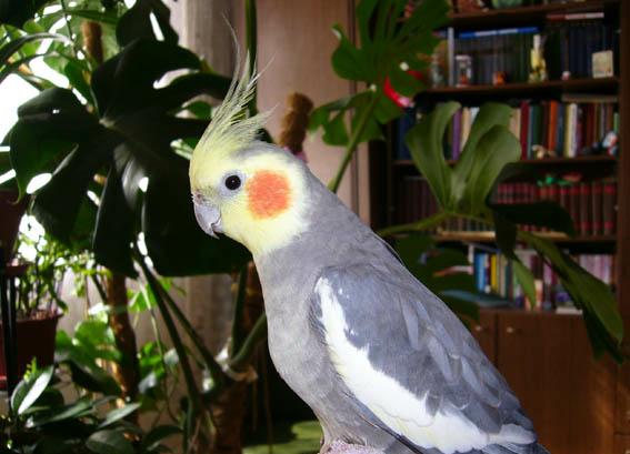 Попугайчик корелла