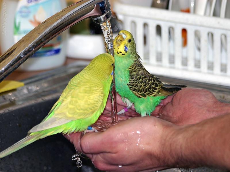 Чем нельзя поить попугая