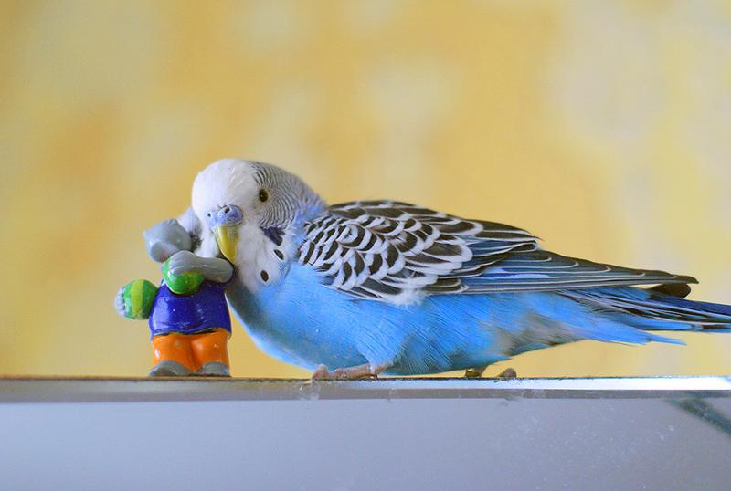 Игры с волнистым попугаем