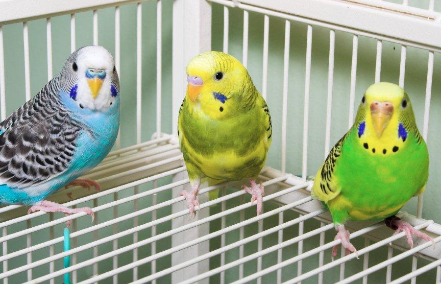 покупка волнистого попугайчика