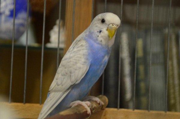 жидкий стул у волнистого попугая