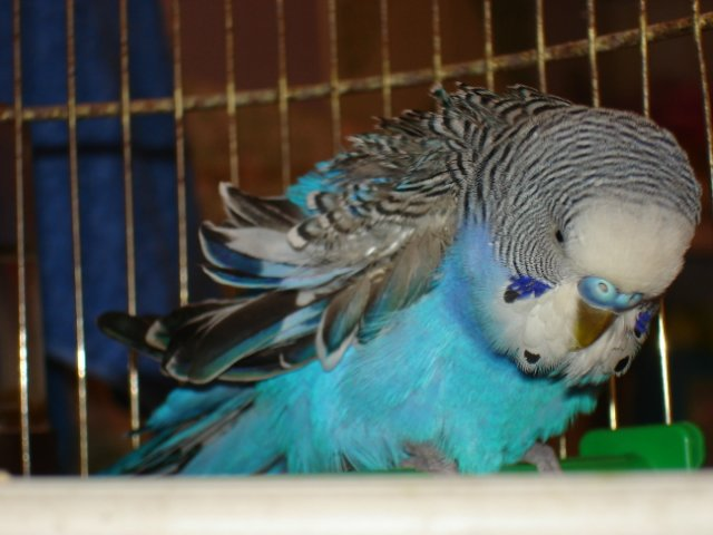 болезнь у волнистого попугая