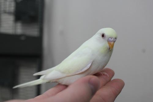 альбино волнистый попугай