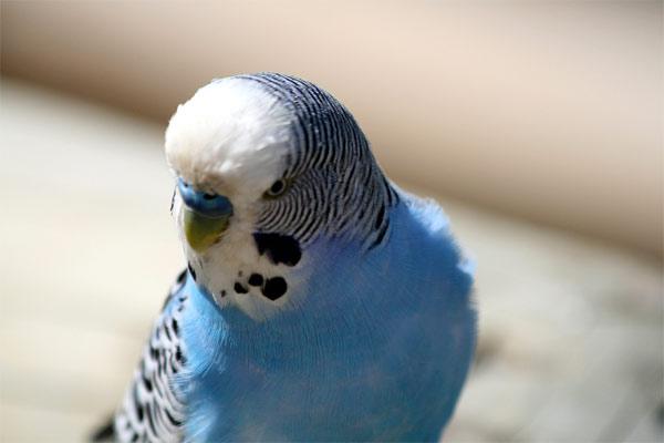 волнистый попугай кусается
