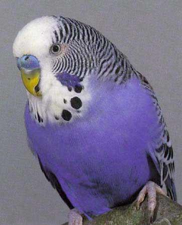 Фиолетовый окрас попугаев