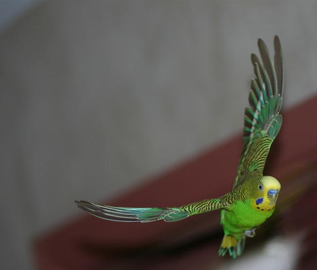 Полет волнистого попугая