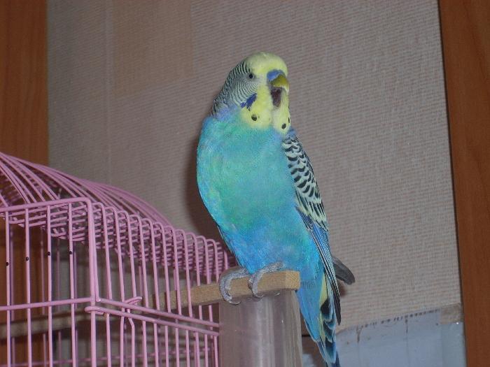 определяем возраст волнистого попугая