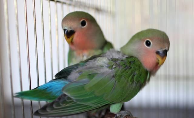 неразлучники птенцы