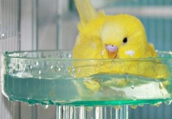 купание волнистого попугая