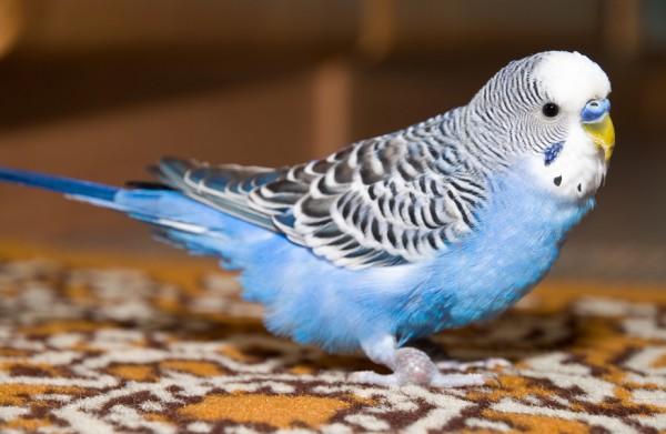 температура тела попугая