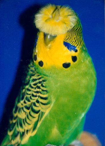 хохлатый волнистый попугай