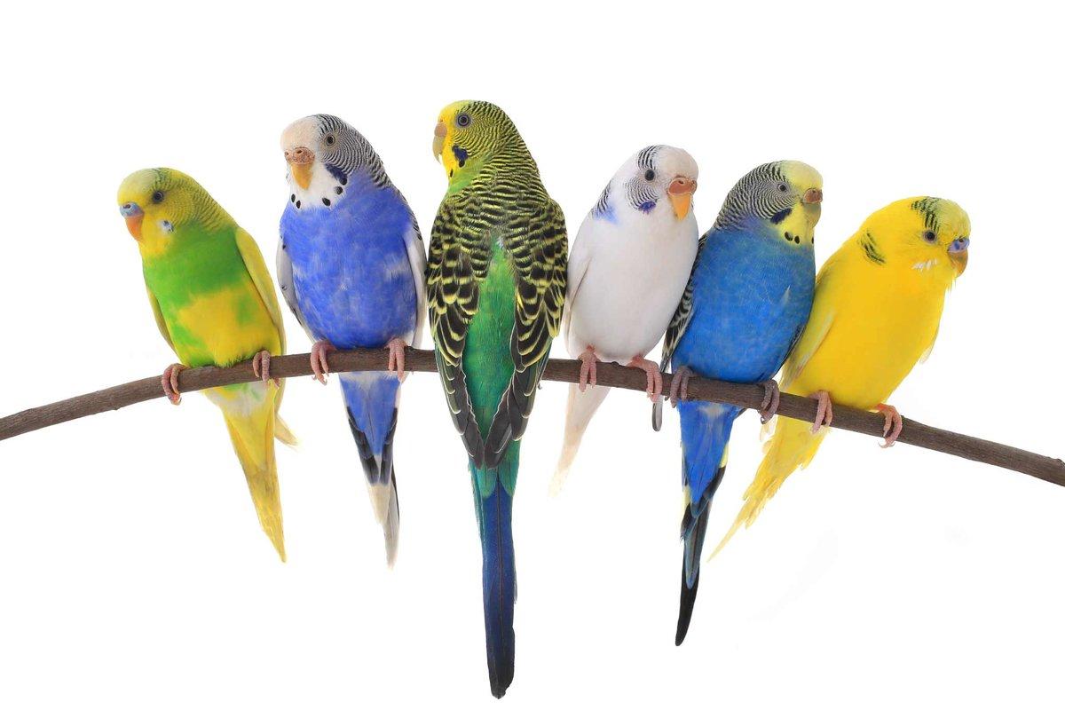 Уход за волнистыми попугайчиками в домашних условиях